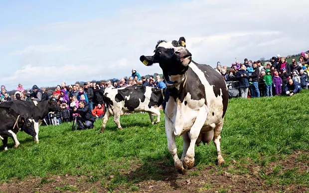 dancing cow1